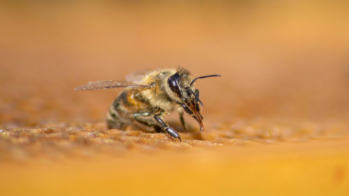 Biene auf Wabe